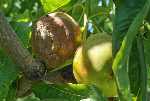 Nektarin gyümölcsfertőző monilinia